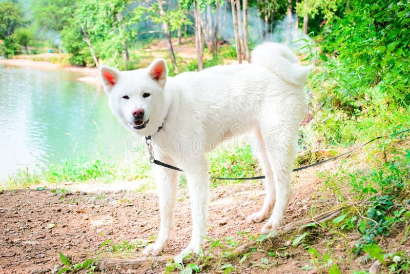 Weiblicher weißer Hund Japanischer Akita Akita Inu stockfotografie