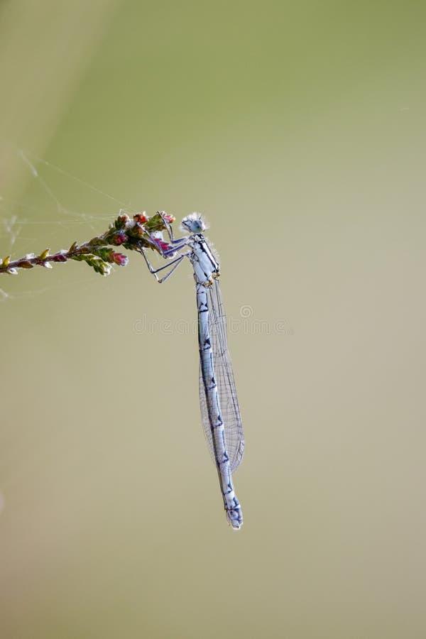 Weibliches Becher-Azurjungfer Enallagma-cyathigerum stockbild