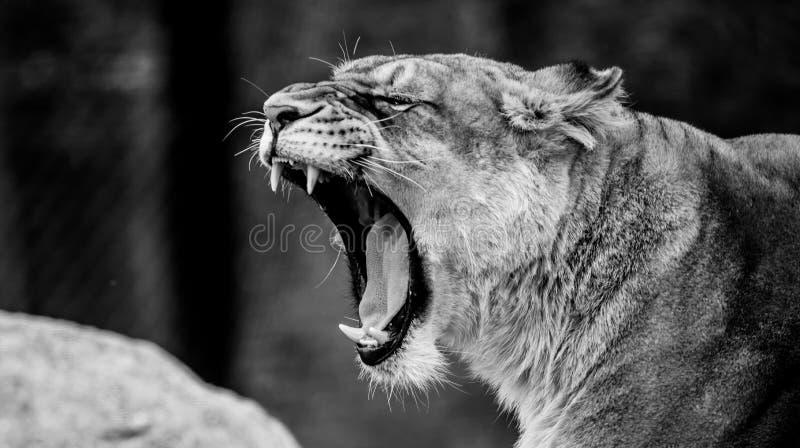Weibliches brüllendes Löweporträt lizenzfreie stockbilder