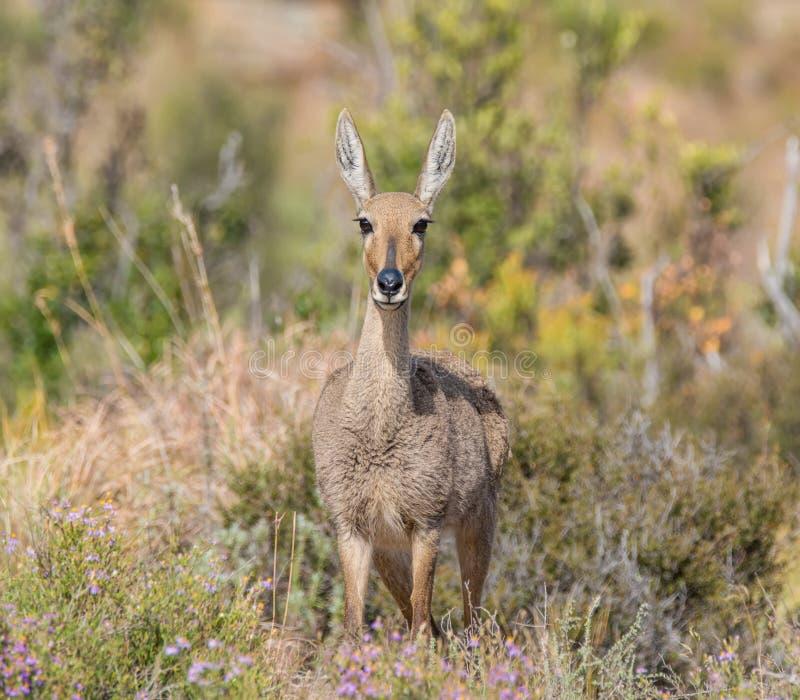 Weibliches Grey Rhebok lizenzfreies stockfoto