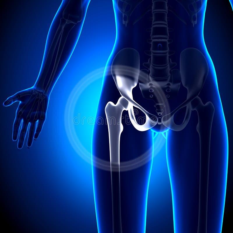 Weibliches Hüftgelenk - Anatomie-Knochen Stock Abbildung ...