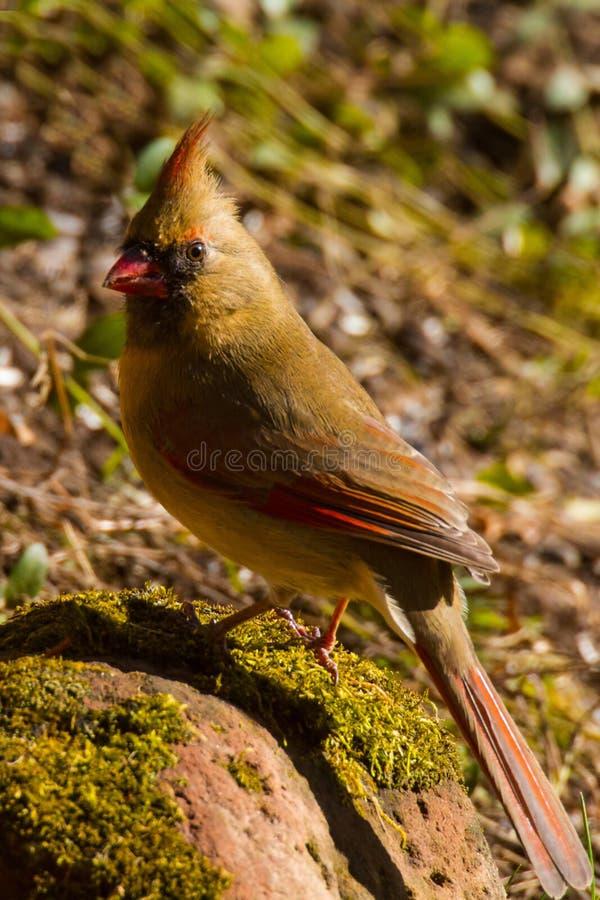 Weibliches hauptsächliches Cardinalidae stockfoto