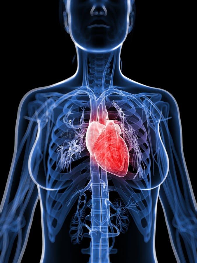Weibliches Herz vektor abbildung