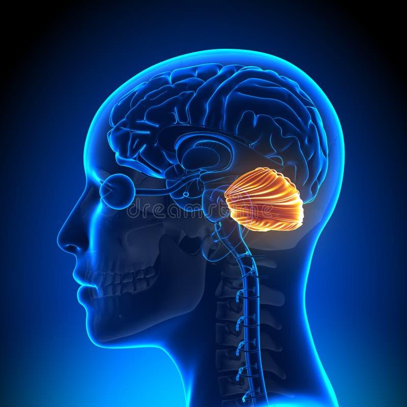 Weibliches Kleinhirn - Anatomie-Gehirn Stock Abbildung ...