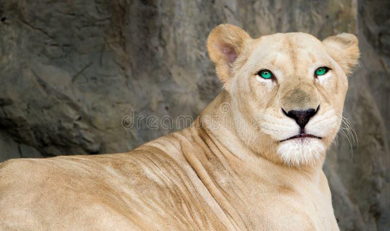 Weibliches Löweporträt lizenzfreies stockfoto