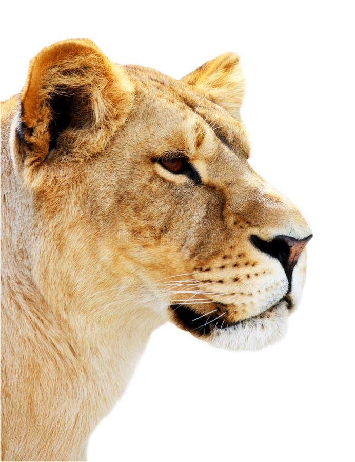 Weibliches Löweportrait getrennt stockfoto