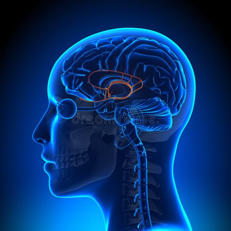 Weibliches Limbic System - Anatomie-Gehirn Stock Abbildung ...