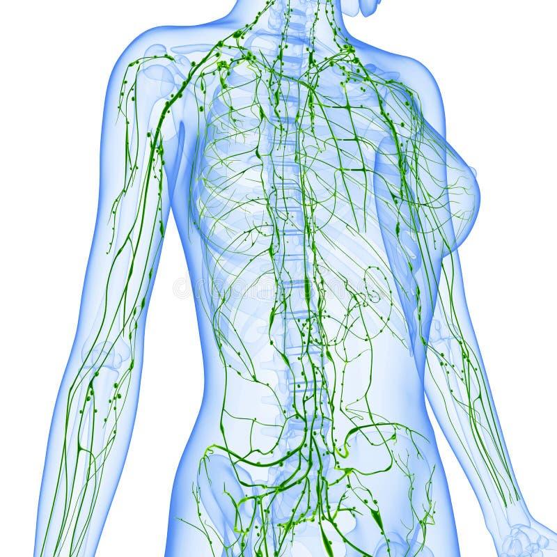 Weibliches Lymphsystem des halben Körpers lizenzfreie abbildung