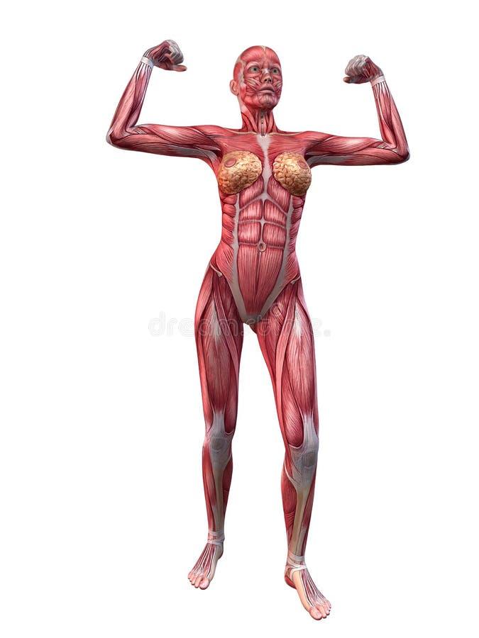 Weibliches muskulöses System lizenzfreie abbildung