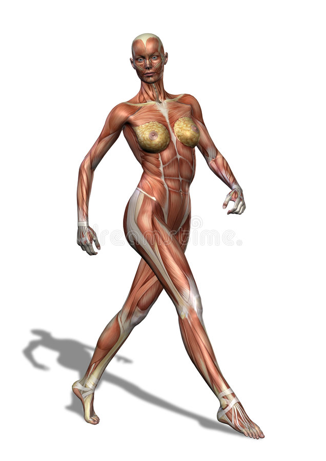 Weibliches Muskulatur-Gehen vektor abbildung