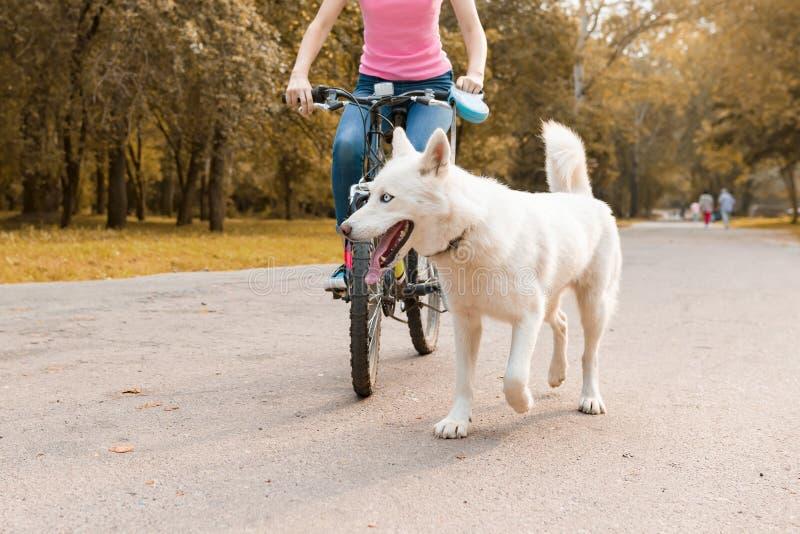 Weibliches Reitenfahrrad mit einem weißen heiseren Hund auf der Straße im Park, Hundeabschluß oben stockbilder