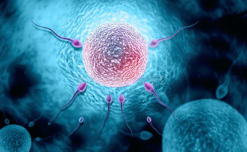 weibliches Reproduktionssystem stock abbildung