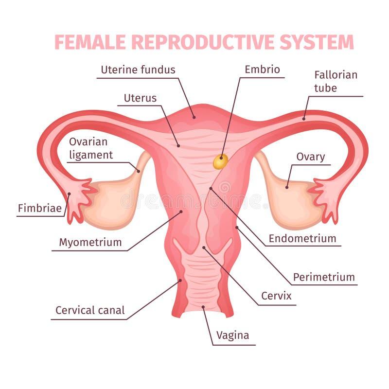 Beste Weibliche Anatomie Gebärmutterhals Zeitgenössisch - Anatomie ...