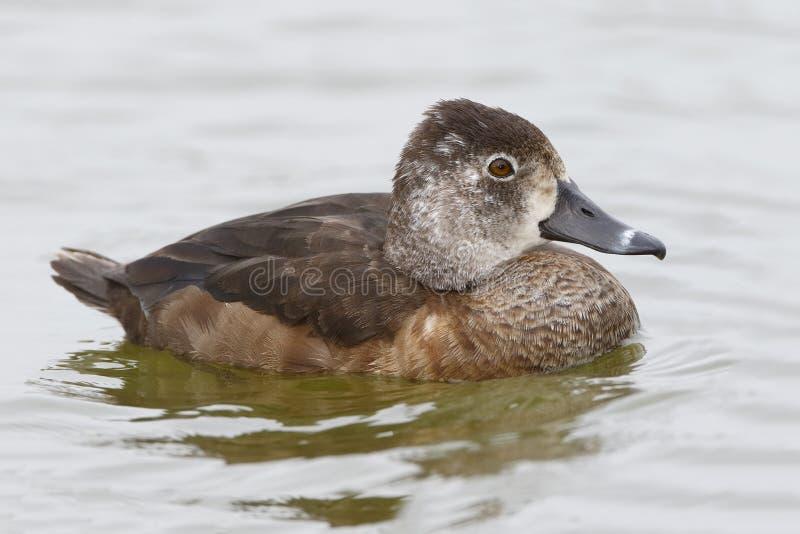 Weibliches Ring-necked Duck Swimming in einem Florida See lizenzfreie stockfotos