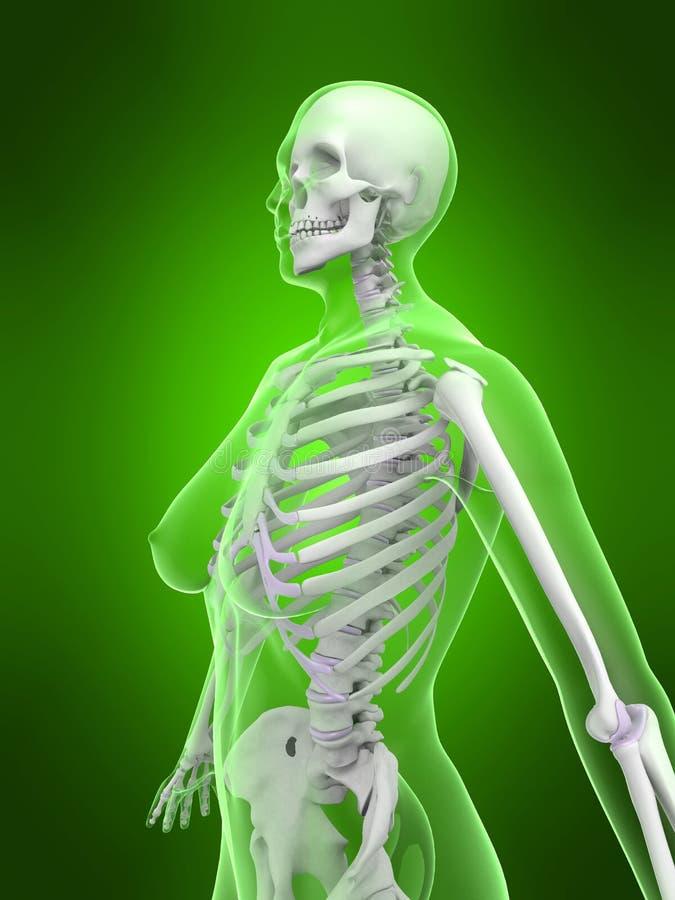 Weibliches Skelett vektor abbildung