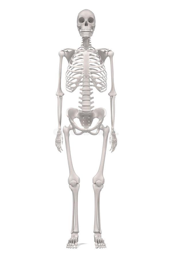 Großzügig Tragen Skelett Anatomie Bilder - Menschliche Anatomie ...