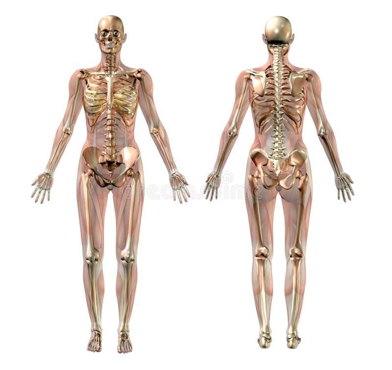 Weibliches Skelett mit den transparenten Muskeln - mit Ausschnittspfad lizenzfreie abbildung