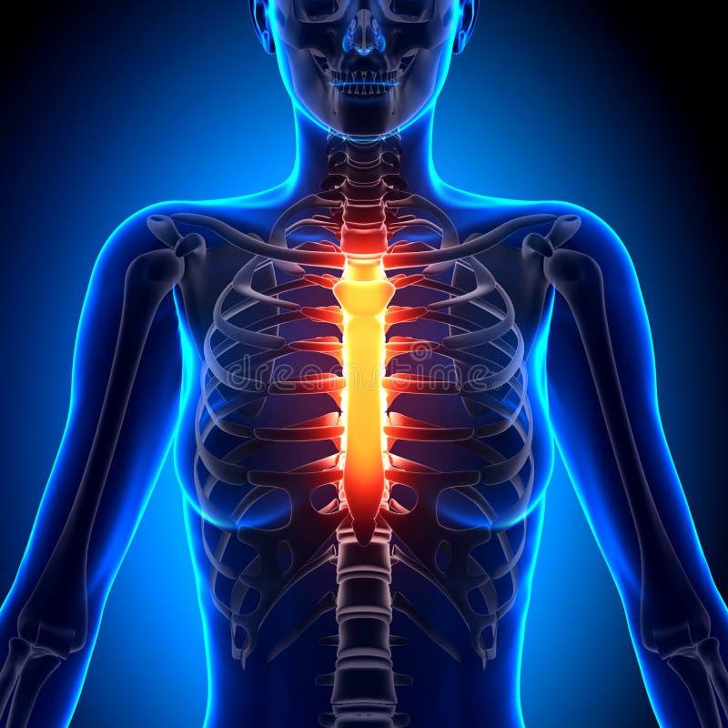 Weibliches Sternum - Anatomie-Knochen Stock Abbildung - Illustration ...