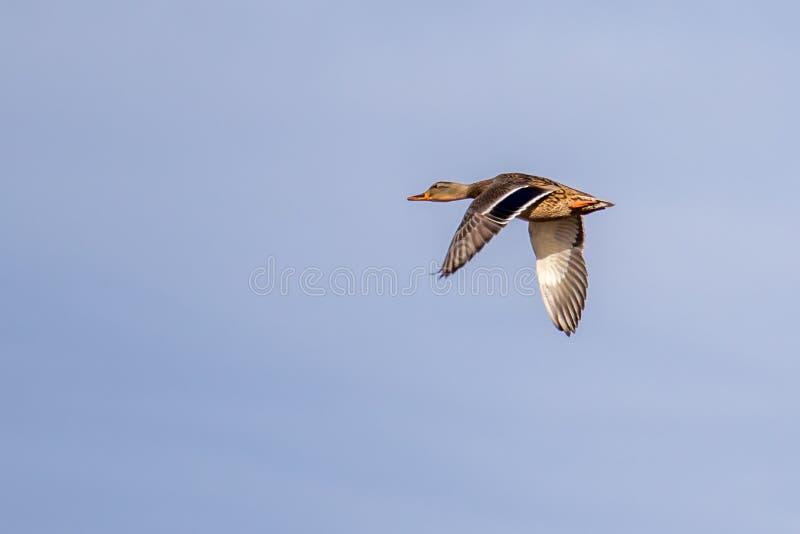 Weibliches Stockentefliegen gegen einen klaren blauen Himmel stockfotos