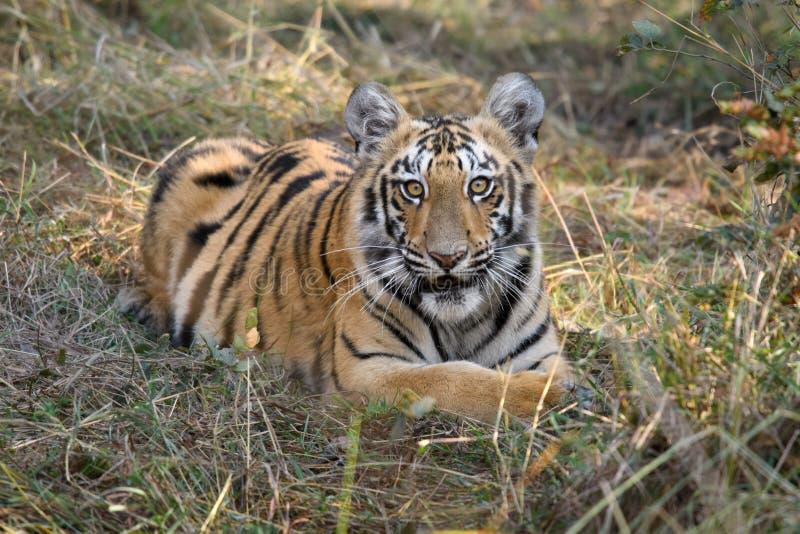 Weibliches Tigerjunges Sonams an Nationalpark Tadoba, Indien lizenzfreies stockbild