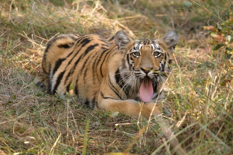 Weibliches Tigerjunges Sonams an Nationalpark Tadoba, Indien stockbilder