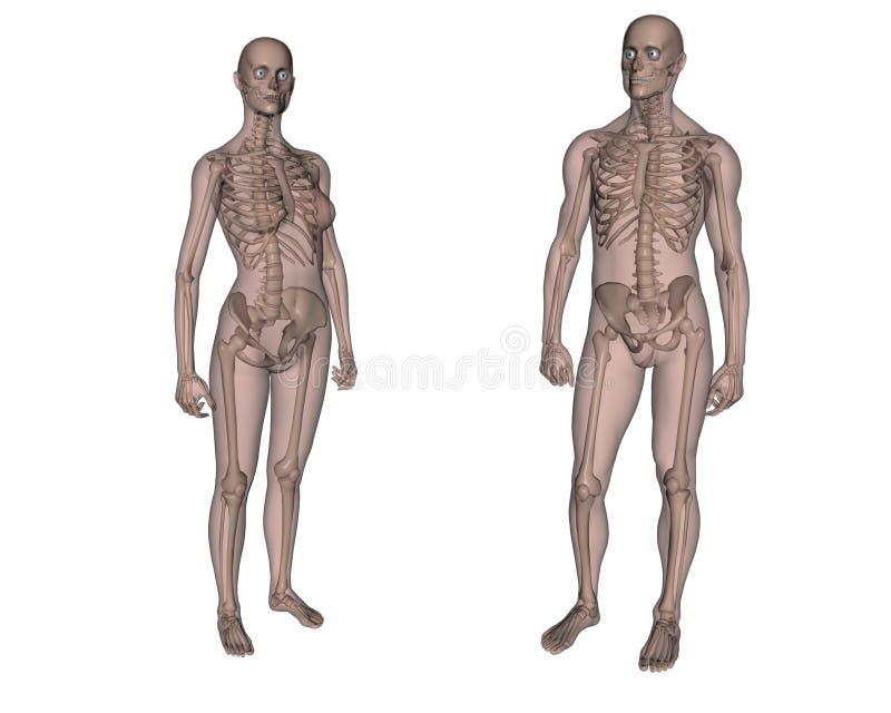 Weibliches Und Männliches Skelett Stock Abbildung - Illustration von ...