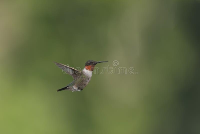 Weich glühender roter Gorget auf einem männlichen Rubin-throated Kolibri stockfotos