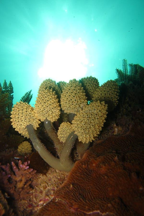 Weiche Koralle stockfotografie
