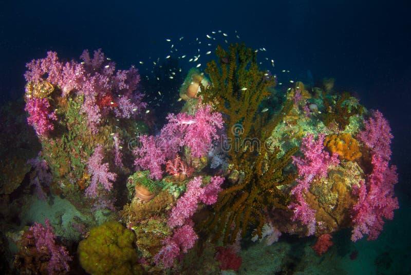 Weiche Korallen in Süd-Andaman, südlich von Thailand stockbild