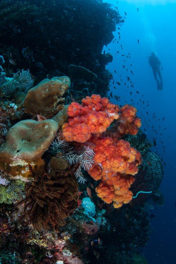 Weiche Korallen und Sporttaucher in Indonesien stockbilder