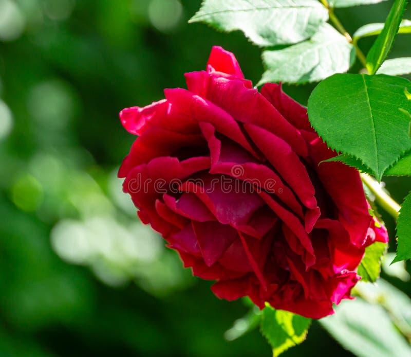 Weiche Nahaufnahme des schönen großen roten Purpurs stieg in natürliches Sonnenlicht auf dunkelgrünem bokeh Hintergrund Rose mit  stockfotografie