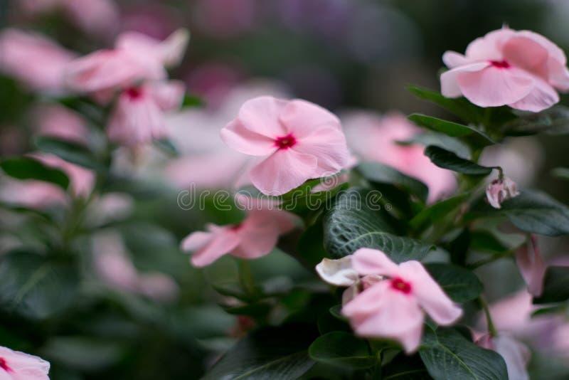Weiche rosa Blume mit Unschärfe-Hintergrund lizenzfreie stockfotografie