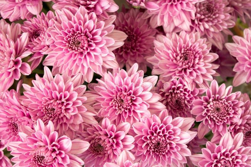 Weiche rosa purpurrote Chrysantheme blüht Naturzusammenfassungshintergrund stockbild