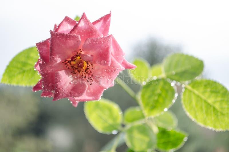 Weiche rosa Rosen mit mit Blättern unter leichtem Regen lizenzfreie stockfotografie