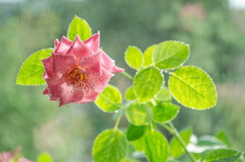 Weiche rosa Rosen mit mit Blättern unter leichtem Regen lizenzfreie stockfotos