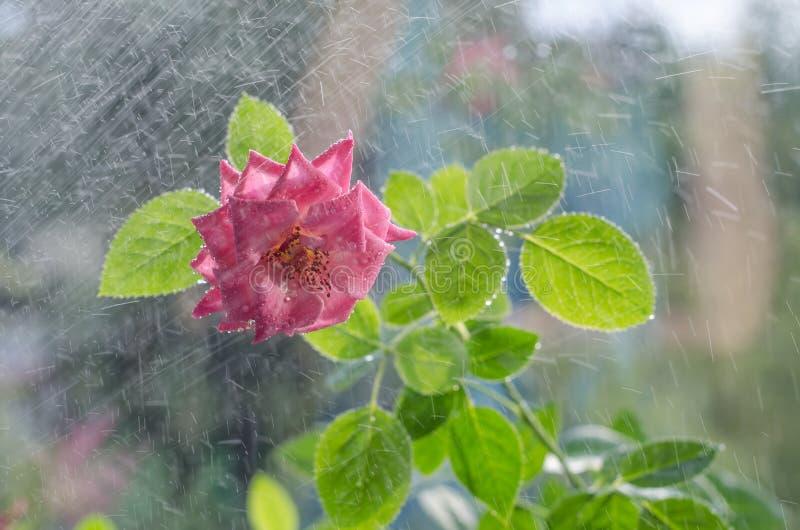 Weiche rosa Rosen mit mit Blättern unter leichtem Regen stockfotos