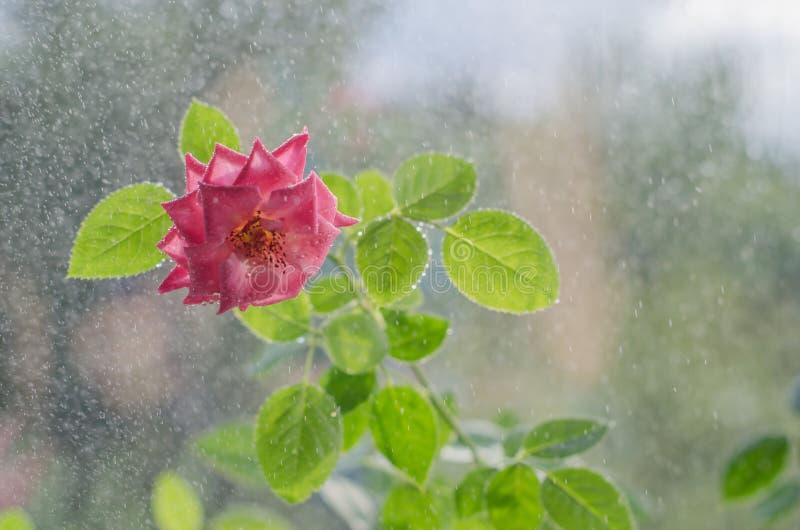 Weiche rosa Rosen mit mit Blättern unter leichtem Regen stockfoto
