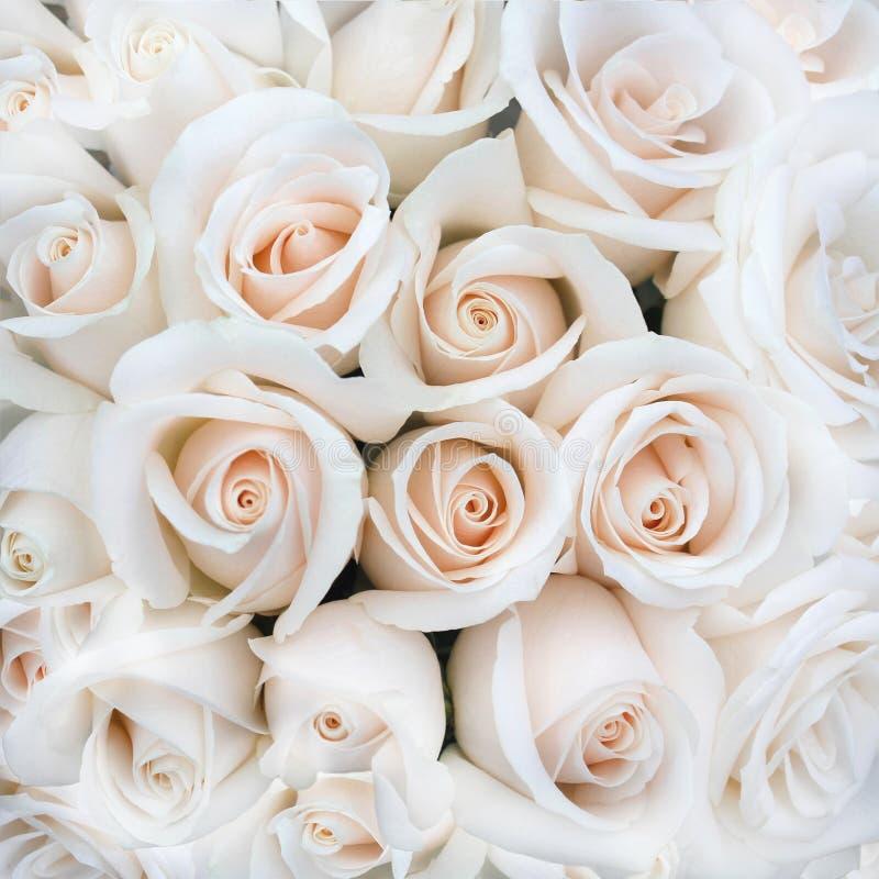 Weiche Rose Buds als Hintergrund lizenzfreie stockfotografie