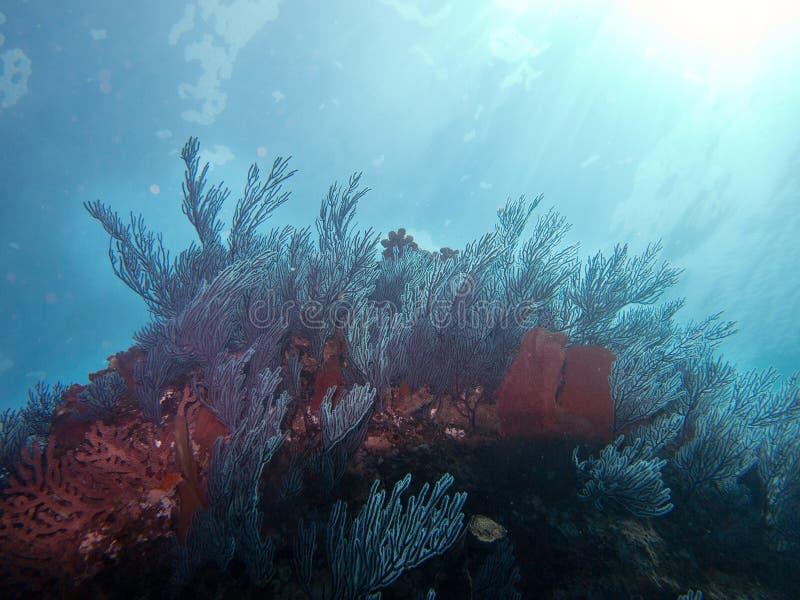 Weiche-und Fan Korallen in Meer von Cortez stockfotos