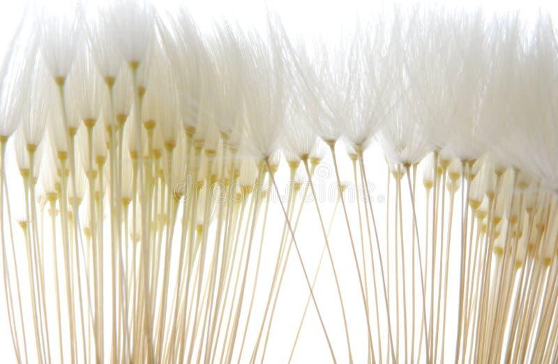 Weiche weiße Löwenzahnstartwerte für zufallsgenerator lizenzfreie stockfotos