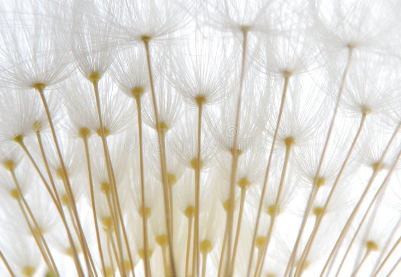 Weiche weiße Löwenzahnstartwerte für zufallsgenerator stockfotografie