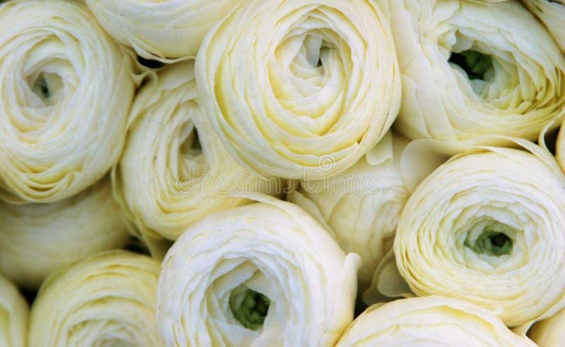 Weicher weißer Ranunculus lizenzfreies stockbild