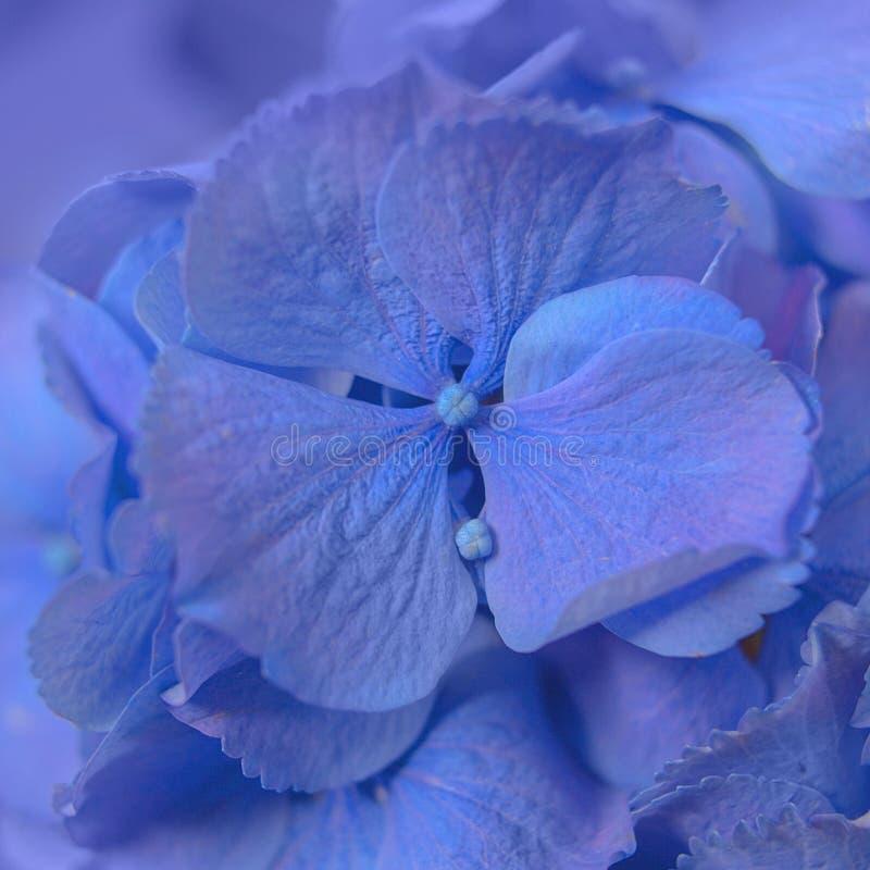 Weiches blaues Hortensie-Hortensie macrophylla oder Hortensiablume mit Wassertau auf Blumenblättern stockbilder