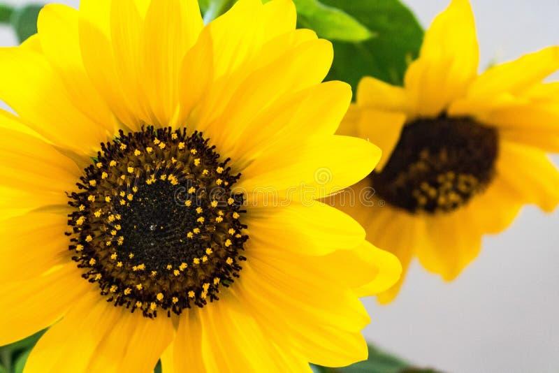 Weiches Innenlicht hell, vibrierende gelbe Sonnenblumenblüte mit zweiter Blütenweichzeichnung gegen weißen Hintergrund lizenzfreies stockbild