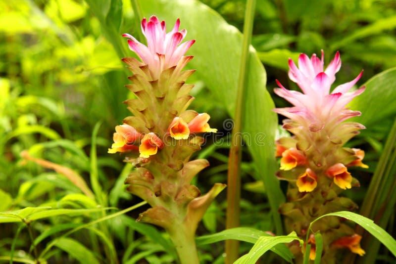Weiches rosa Siam-Tulpenblume Kurkuma alismatifolia im tropischen Waldkurkuma alismatifolia ist alias Siam-Tulpe oder s stockfoto