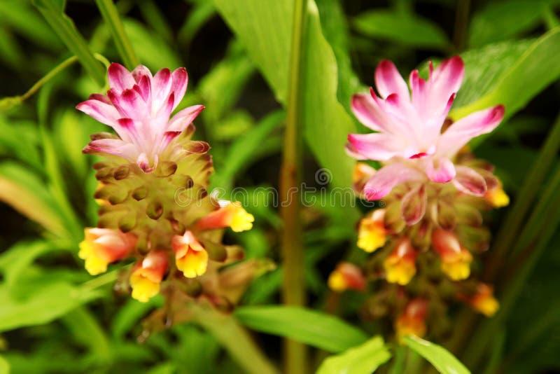 Weiches rosa Siam-Tulpenblume Kurkuma alismatifolia im tropischen Waldkurkuma alismatifolia ist alias Siam-Tulpe oder s stockfotografie