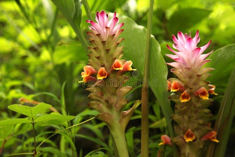 Weiches rosa Siam-Tulpenblume Kurkuma alismatifolia im tropischen Waldkurkuma alismatifolia ist alias Siam-Tulpe oder s lizenzfreies stockbild