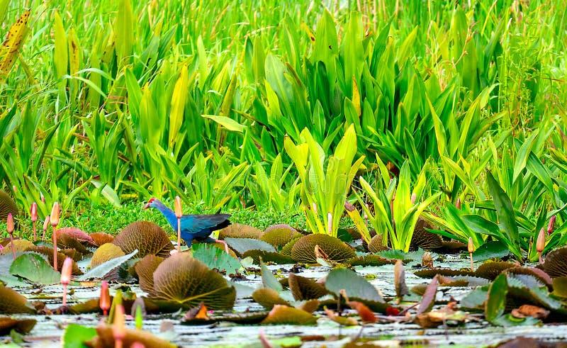 Weiches Unschärfebild von einem gemeinen Teichhuhnvogel suchen nach Nahrung nahe zur Lotoslagune mit Grünpflanze als Hintergrund lizenzfreie stockfotos