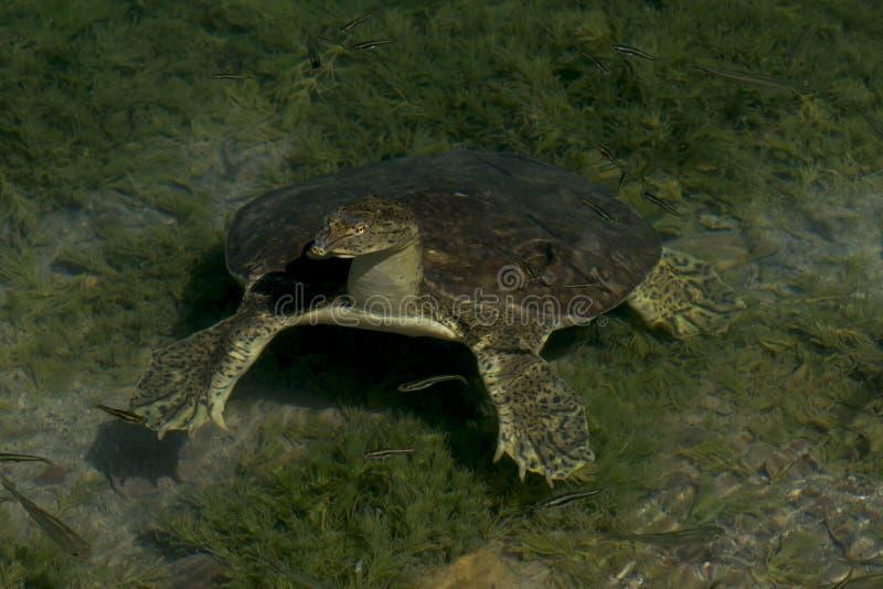 Weichschalige Schildkröte