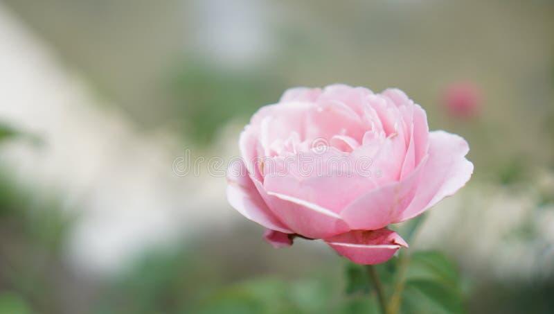 Weichzeichnung der rosa Rose auf grünem Hintergrund stockbilder